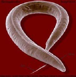 Ver Caenorhabditis elegans