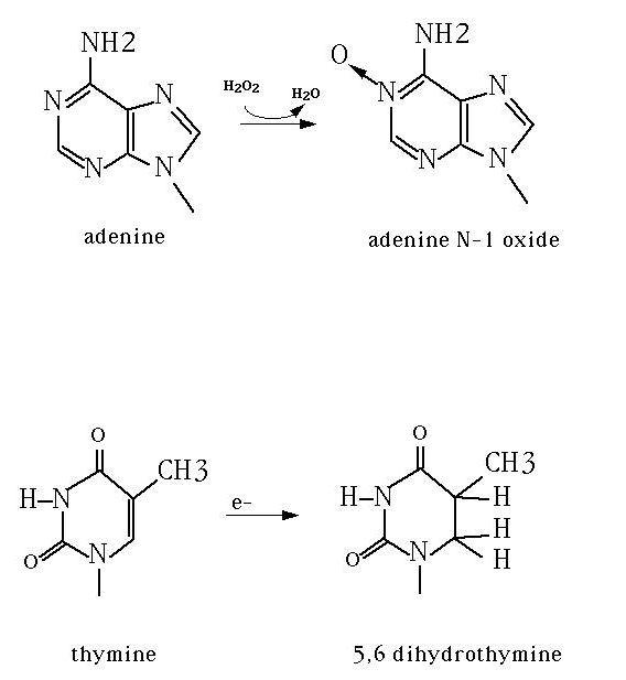 Modification de 2 bases d'ADN (adénine et thymine) dans les graines de salade exposées aux rayonnements cosmiques